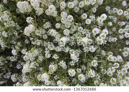 Bed with flowers in an early autumn. Lobularia maritima syn. Alyssum maritimum, common name sweet alyssum or sweet alison, also commonly referred to as just alyssum is a species low-growing flowering