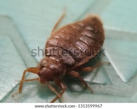 Bedbug animal insects