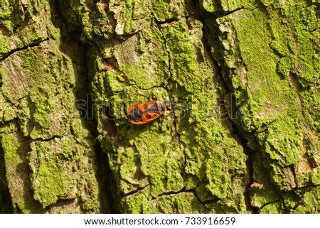 Bedbug-soldier on a tree trunk, red-black beetle, closeup