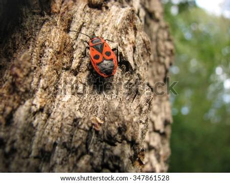 Bedbug-soldier on a tree trunk, red-black beetle, super macro mode