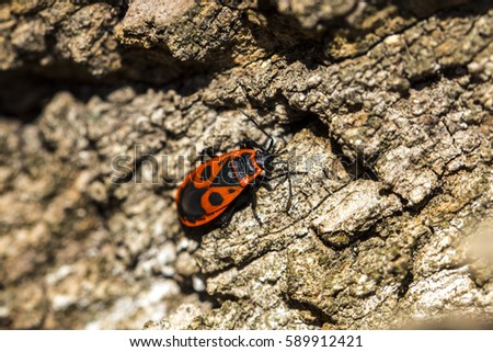 Bedbug-soldier on a tree trunk, red-black beetle, super macro mode.