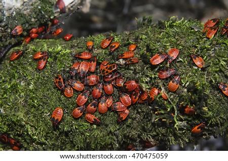 Bedbugs-soldiers on a tree, red-black beetles, macro mode