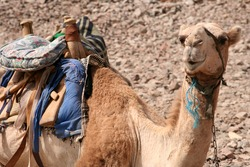 Bedouin camel in egypt looking curious at tourists