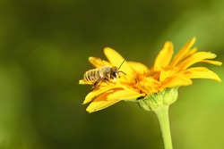 Bee and flower. Close up of a large striped bee collecting pollen on a yellow flower on a Sunny bright day. Summer and spring backgrounds. Macro horizontal photography