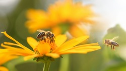 Bee and flower. Close up of a large striped bee collects honey on a yellow flower on a Sunny bright day. Macro horizontal photography. Summer and spring backgrounds