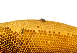 Bee and honeycombs wax without honey isolated on a white background.