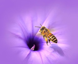 Bee and Morning glory