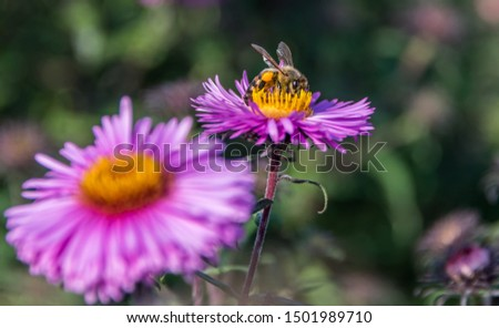 Bee and Purple Pink Flowers Closeup in a Summer Garden