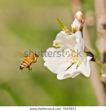 Bee and white flower