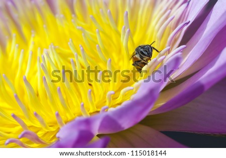 Bee and yellow purple water lilly