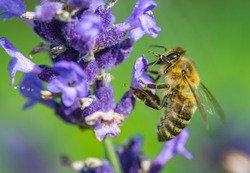 bee Apis mellifera carnica collecting honey and pollen on lavader Lavandula angustifolia Hidcote Blue