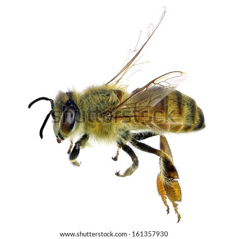Bee (Apis mellifera) isolated on the white background