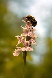 Bee beetle (Trichius fasciatus)