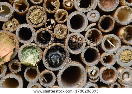 Bee box with miner bees going out. They lay eggs take nectar in seal a hole so then babies break out next year They do not sting and are quite timid In the garden they are extremely beneficial insects Stok fotoğraf ©