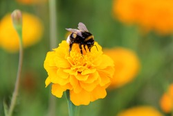 bee bumblebee drink nectar ontagetes marigolds flowers