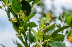 Bee buzzing among the orange blossoms in the citrus grove on a spring afternoon