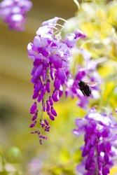 Bee Buzzing Around Wisteria in Garden