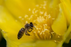 Bee collecing honey and pollen from yellow cactus flower. Sunny spring day.