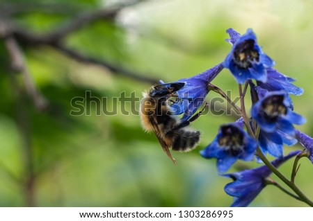 Bee collect nectar on the blue Delphinium (Blue Mountain Larkspur, Dwarf Larkspur, Slim Larkspur) inflorescence, macro, shallow DOF #1303286995