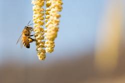 bee collect pollen on hazel plant,Corylus