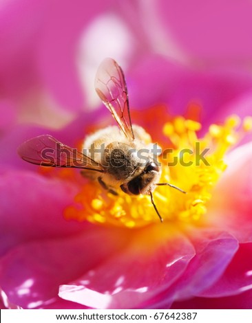 Bee collecting honey on a pink flower