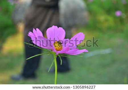 Bee collecting nectar from Mexican Aster or cosmos, a flowering plants with different colors, bright and lovely, tongue and tubular of the flowers  being surrounded by bracts, nectar collector