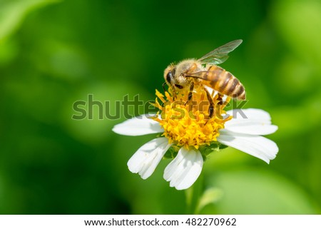 Bee collecting nectar on white and yellow Bidens pilosa flower