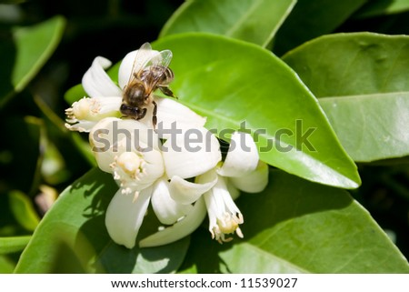 bee collecting pollen from an orange tree flower