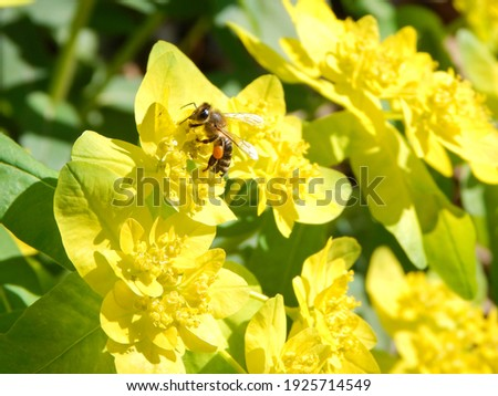 Bee collecting pollen from the yellow flower in the spring sun. Bee with full pollen baskets collecting more pollen from the yellow flower Stock photo ©