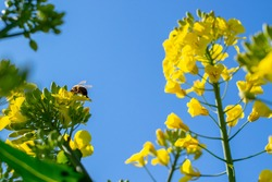 Bee collecting pollen from yellow rapeseed flower against the blue sky