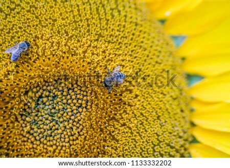 bee collecting pollen nectar on sunflower