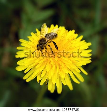 Bee collecting pollen on yellow dandelion