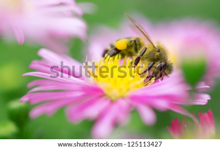 bee collection pollen on the pink flower - stock photo