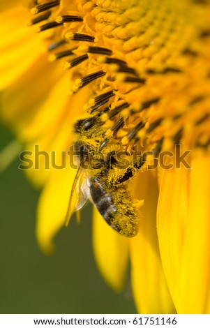 bee collects nectar on sunflower