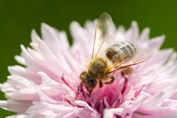 Bee collects pollen from a cornflower. White bee cornflower, close up on natural background. macro photography