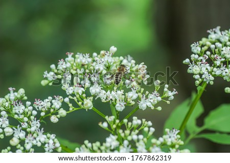 bee collects pollen or nectar from white inflorescence of valerian in summer in forest. medicinal plant used for production of medicines, sedatives, sedatives.