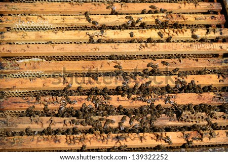 Bee colony in the beehive