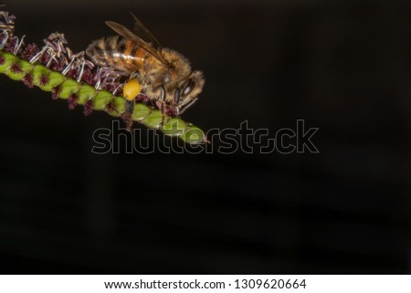 Bee drinking/looking for nectar off of a green plant with tiny purple flowers. Curious honey Bee is walking down on a green plant pointing from left with black background to make it pop