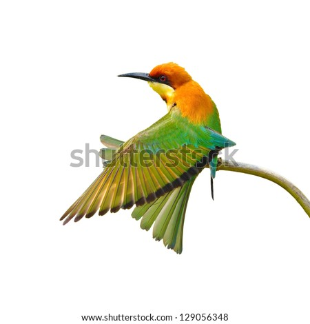 Bee eater Bird on white background