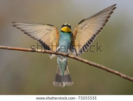 Bee eater in flight