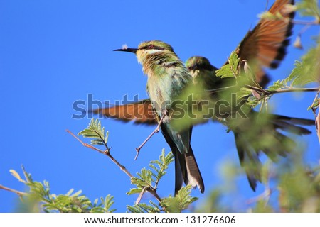 Bee-eater, Swallow tailed - African Birds - Wonderful portrait of two bee-eaters meeting at a branch near a watering hole on a game ranch in Namibia.