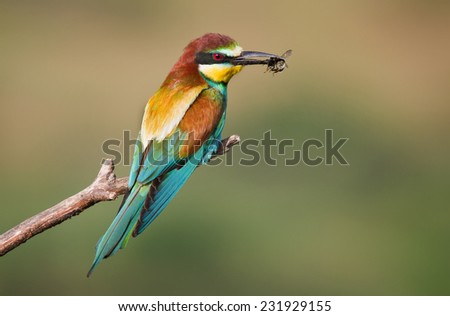 Bee-eater with Bumblebee