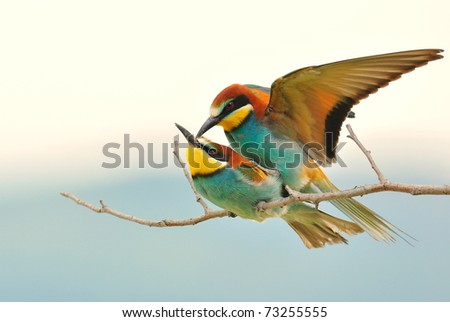 Bee eaters mating