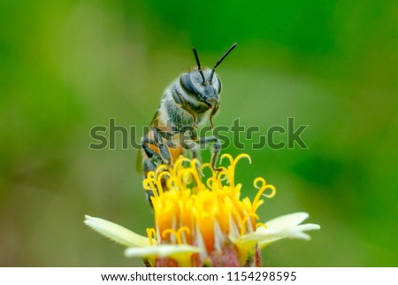 Bee eating, Bee sucking the yellow flower in the garden,Macro bee on green background using for wallpaper,insect in juggler of Thailand.fly,bug,insect,macro nature,macro fly,macro bug,macro bee,macro.