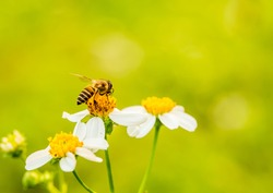 Bee eating pollen of flower in the field, Chiangmai province Thailand.
