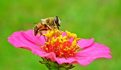 Bee Flower Pollen Pollinate Pollination Zinnia