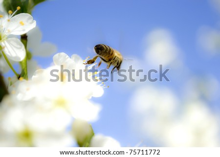 Bee flying from a blossom, close up