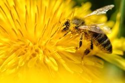 Bee flying on and over dandelion