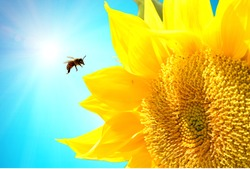 Bee flying over sunflowers in summer