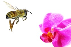 Bee flying to the orchid flower. Isolated on white background